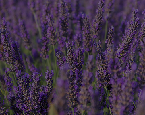 Lavender to Calm the Mind & Heal the Body