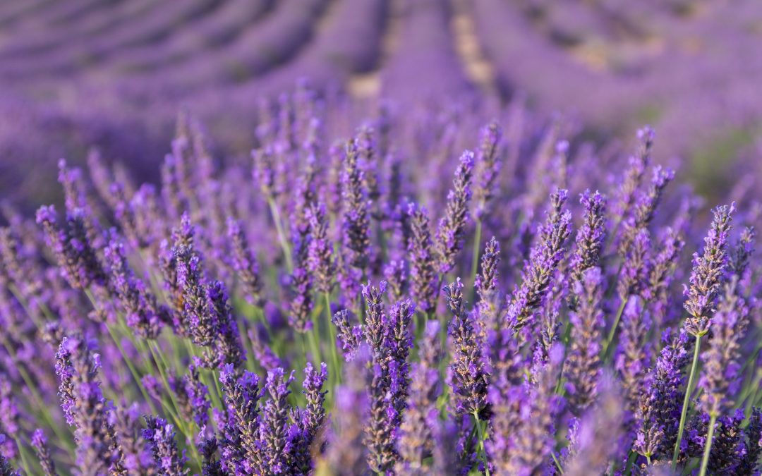 Lavender to Calm the Mind and Heal the Body