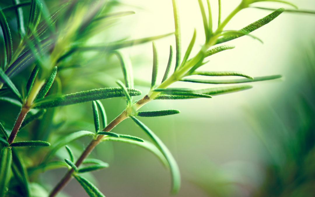 The Health Benefits of Rosemary