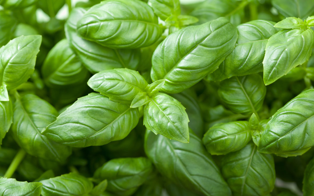 Basil Contains Disease-Preventing Antioxidants and More